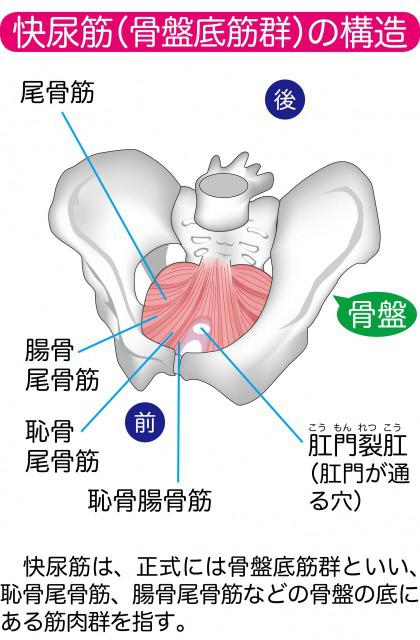 Diagram of pelvic floor muscle.jpg